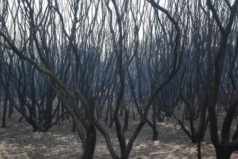 Burnt melaleuca at Bastion Point, Mallacoota.