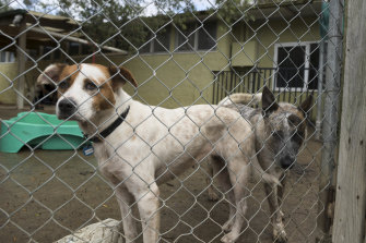 The coronavirus lockdown has increased demand to adopt and foster rescue animals. Staffy cross Marshmallow and cattle dog cross Clyde await their turn at Monika's Rescue Shelter.