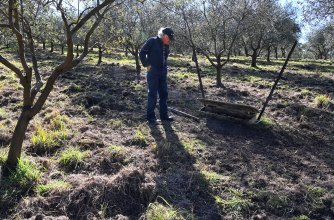 Malcolm Scott surveys the damage caused by feral pigs in his olive groves in the Megalong Valley.