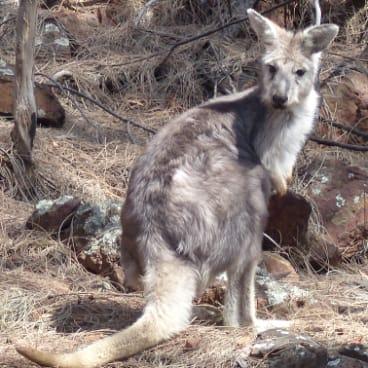 Female wallaroo on Mount Ainslie.