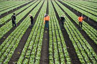 Workers from Malaysia and Vietnam work a cos lettuce field.