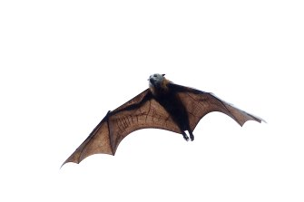 Flying foxes are classified as a vulnerable species.