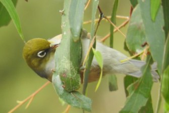 A silvereye bird in the photographer's garden.