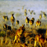 Skippy survey: Strong stomachs, keen eyes needed for WA kangaroo count
