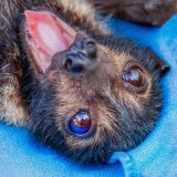 About 850 spectacled flying foxes were rescued in far north Queensland, mostly pups.