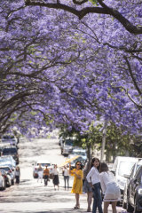 Jacaranda viewing rivals Japan's cherry blossom viewing.