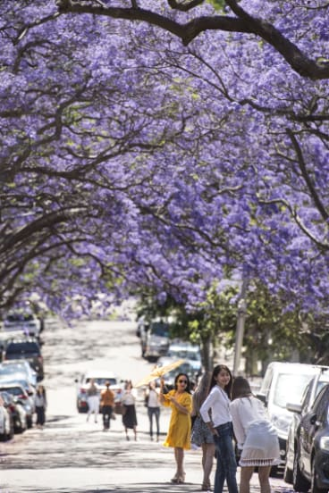 Jacaranda brings its rivals to Japan's cherry blossom.
