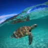 Climate change could turn green turtles female