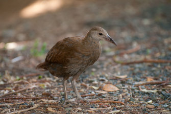 The endangered Lord Howe Island woodhen.