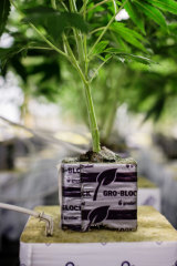 An adult individual is allowed up to four marijuana plants if the ACT legalises cannabis.