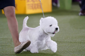 A West Highland white terrier named Boy trots with its handler during judging.