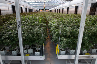 A medicinal cannabis farm at an undisclosed location in NSW that will legally produce large quantities of cannabis oil.