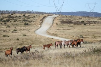 Horses are breeding in NSW, which borders alpine regions of Victoria and the ACT.