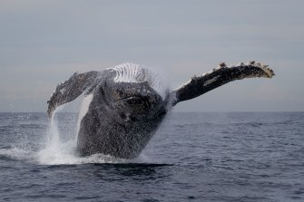 A whale jumps in an hour-long display.
