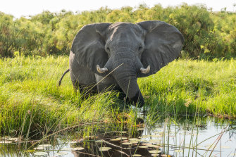 Elephants are a big tourist drawcard in Botswana, but overpopulation is now causing problems.