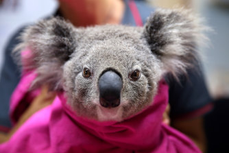A koala getting treatment at Port Macquarie Koala Hospital.
