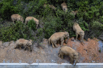 The herd of wild elephants pictured in Eshan county in Yunnan Province last week.