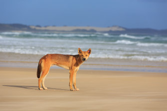 Park rangers are working to find which dingo was involved in the attack.