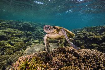 A turtle on Ningaloo Reef in Western Australia.