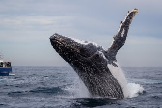 A humpback whale performing for boats of whale watchers in Sydney.