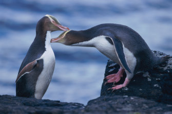 There are an estimated 225 pairs of yellow-eyed penguins left in the wild.