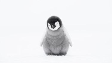 A 4-week-old Emperor penguin chick.