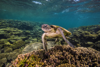 A turtle on Ningaloo Reef.