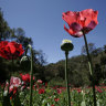 Mexican president studies legalisation of opium poppy farming