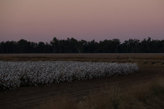A cotton farm in Trangie, north-west of Dubbo.