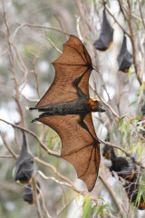 Grey-headed flying foxes at Melbourne's Yarra Bend Park. The mammals are among the many threatened or endangered species in the midst of our biggest cities.