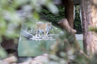 The tiger male Sayan in the restricted area at the Zoo Zurich after the accident in the tiger enclosure where a female keeper was attacked and fatally injured by a female tiger.