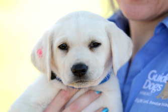 WA's state prosecutions office is trialing a live-in therapy dog to improve staff's mental health. (File picture)