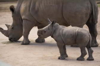'Like big puppy dogs': Taronga Western Plains Zoo has another star attraction with the recent birth of another White Rhino calf.