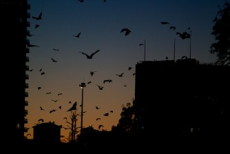 It is no longer possible to watch hordes of flying foxes rise en masse from the Botanic Gardens at dusk.