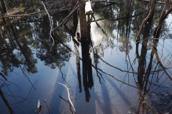 Drying waterways are contributing to local extinctions. Programs to relocate surviving platypuses are being proposed.