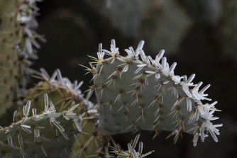 Ice clings to the spines of a prickly pear cactus.