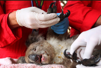 An injured koala being treated on Friday at the Kangaroo Island Wildlife Zoo in South Australia.