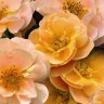 A magic carpet of roses