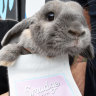 Perth's own Insta-famous bunny brings Easter delivery of a different kind