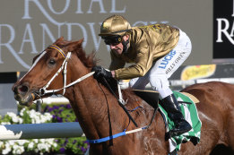 Final run: Maddison Avenue will look to lead all the way again at Rosehill.