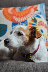Grungle, a nine-year-old Jack Russell, has needed a lot of vet attention recently.