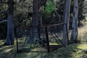 Feral sow pig caught in a trap by Local Land Services in the Megalong Valley in the Blue Mountains.