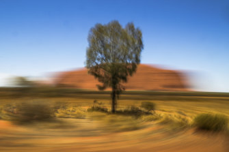 A desert oak also known as kurkara is seen in front of Uluru.