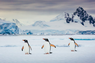 Gentoo penguins are just one of a number of breeds in the area. These are thriving on Elephant Island and on the Antarctic Peninsula.
