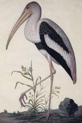 A Sydney Parkinson illustration.