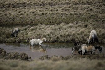 Brumbies also known as feral or wild horses seen roaming in the Kosciuszko National Park near Kiandra prior to last season's bushfires.