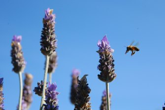 Even in winter lavender attracts bees.