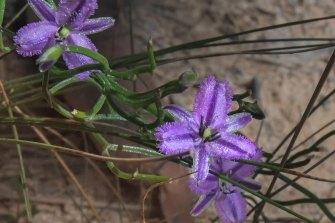 The twining fringe lily.