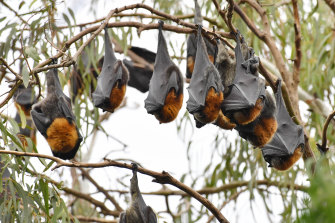 The Yarra Bend bats are nomadic, making a cull a bit of a waste of time.