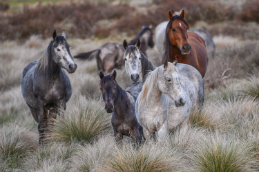 Wild horses roam in the Kosciuszko National Park